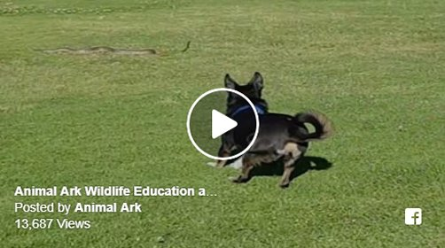 Amazing video footage of our snake avoidance training course