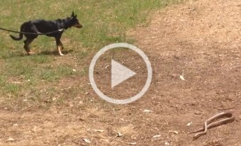 Snake Avoidance training refresher for Ruby the kelpie